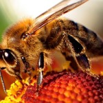 Honey Bee Deaths Soaring