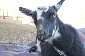polly's incredible goat birth